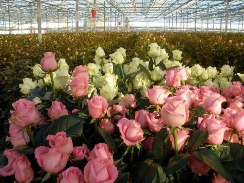 Бизнес идеи выращивание роз открой свой бизнес картинка
